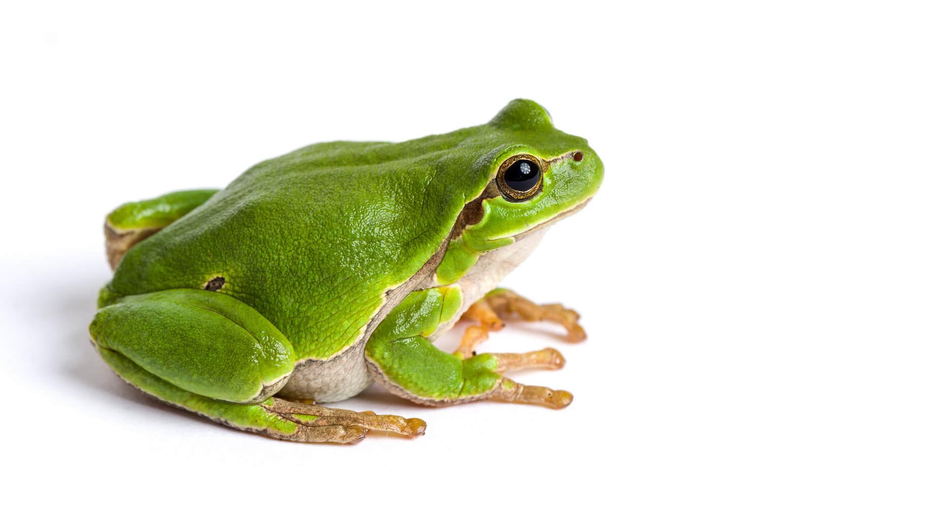 Grüner Frosch vor weißem Hintergrund